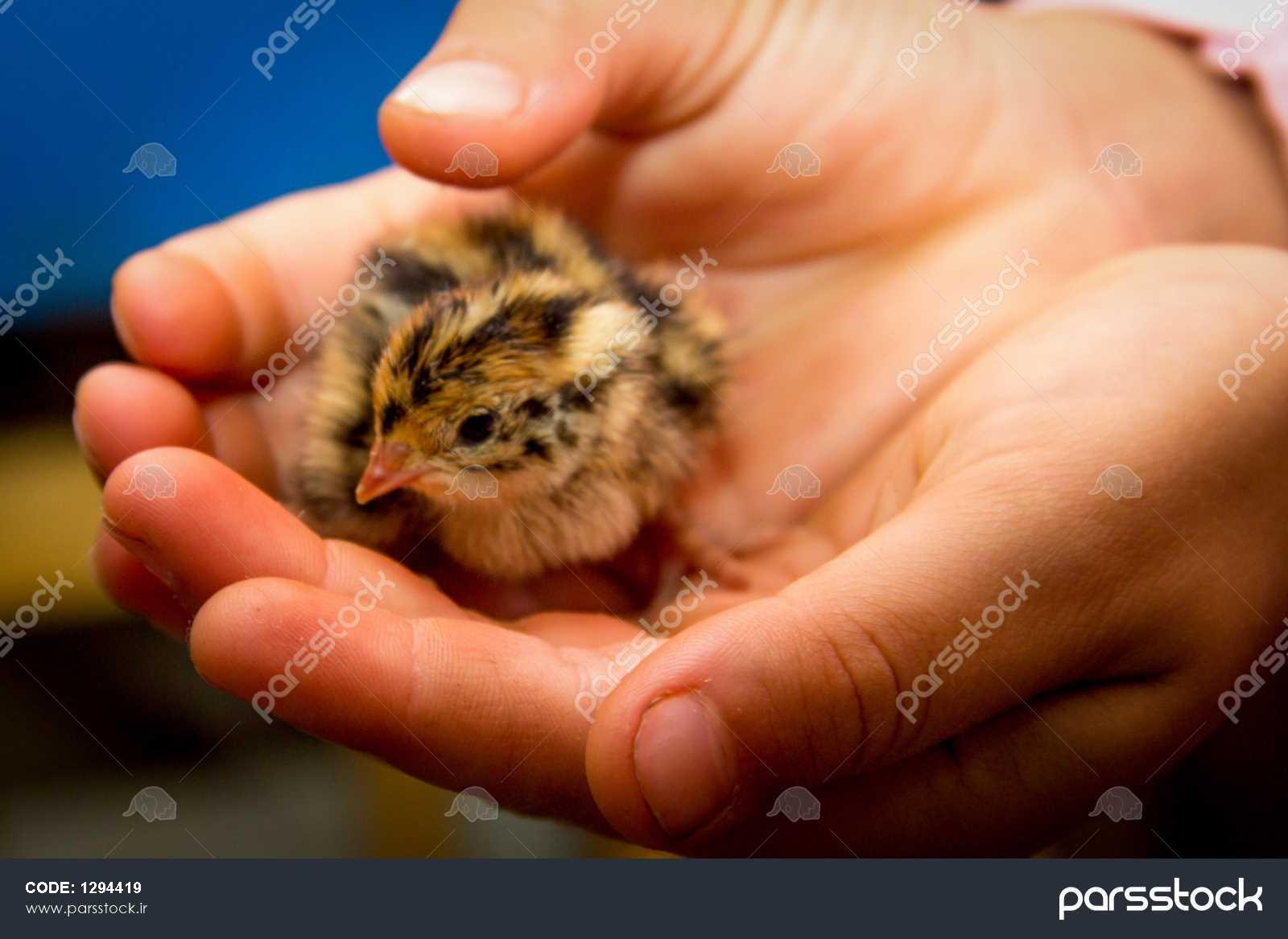 جوجه بلدرچین کوچک است که فقط از یک تخم مرغ ها عکس 1294419 ...