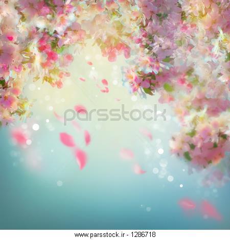 گیلاس عکس بهار شکوفه گیلاس پس زمینه عروسی با گلبرگ های سقوط عکس ...
